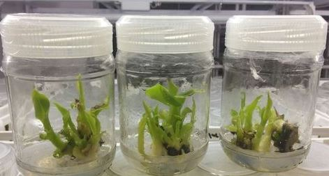 Banana Tissue Culture in the lab.