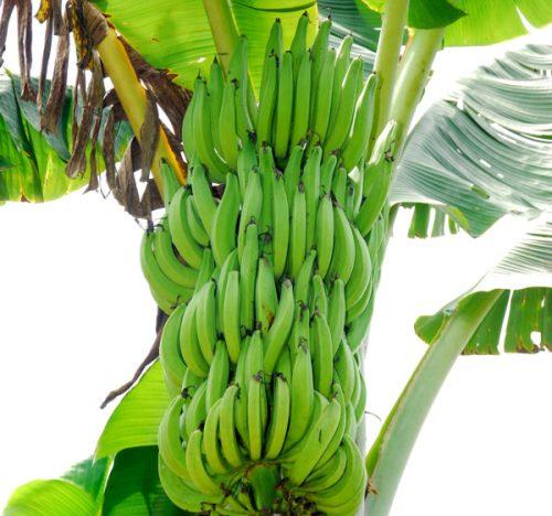 Tissue Culture Banana.