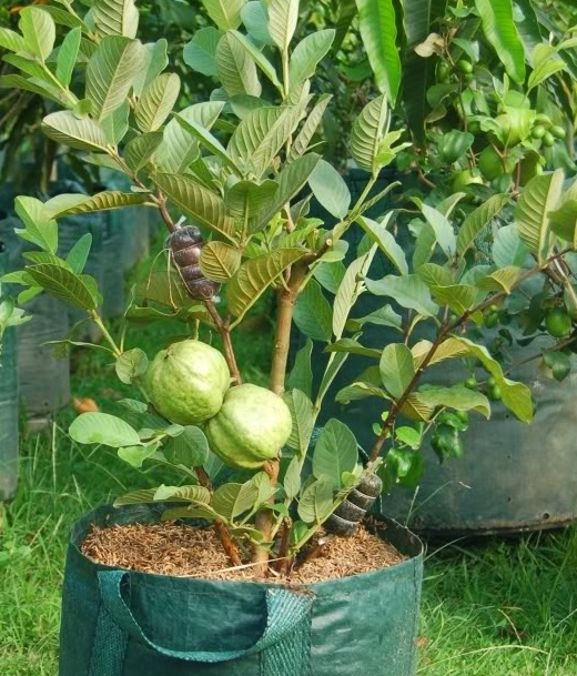 Guava Production Practices (Month Wise) Guide | Agri Farming