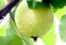 Guava Production.