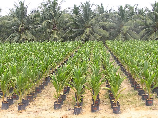 coconut production How to choose virgin coconut oil with such a wide variety and variation in processes for production of virgin coconut oil in the world today.