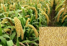Foxtail Millet Farming.