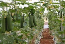 Greenhouse Cucumber Production.
