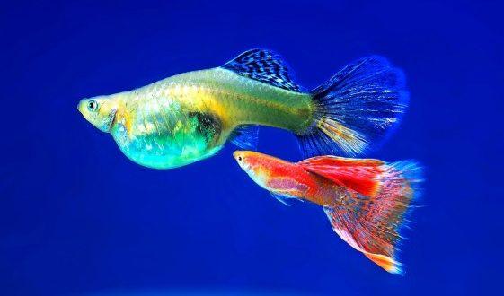 Ornamental fish farming for beginners for Ornamental fish