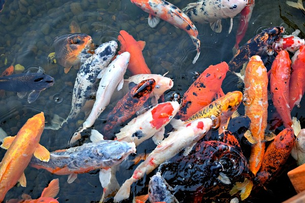 Fish Production