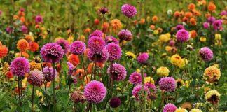 Dahlia Flower Name In Hindi Best Flower Wallpaper
