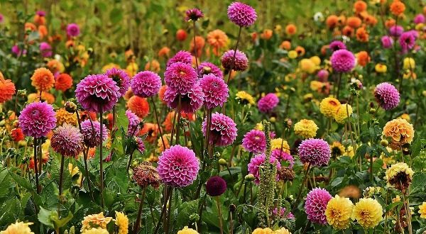 growing dahlias information for beginners agri farming
