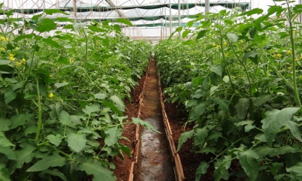 Tomato Cultivation in Greenhouse.