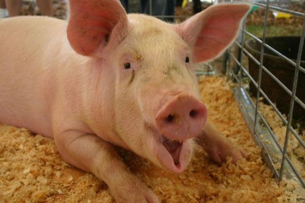 how to start a pig farming business in india