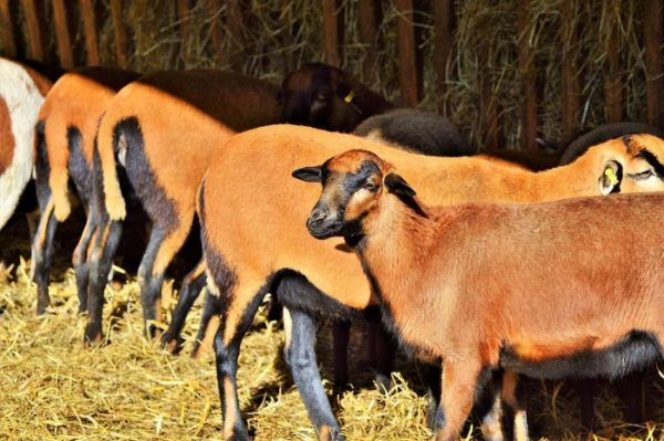 Sheep Farming Business For Beginners | Agri Farming