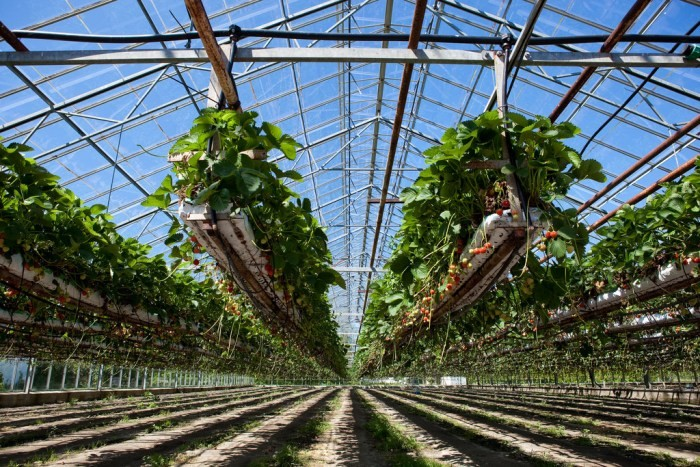 How To Grow Hydroponic Strawberries Agri Farming