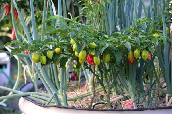 how to grow chillies in pots india