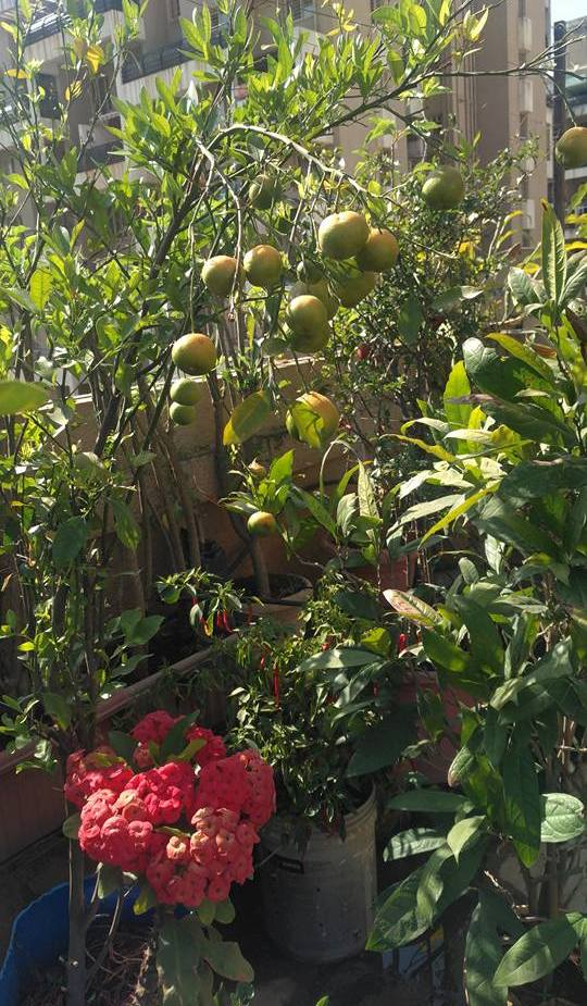 Growing Fruits on Terrace.