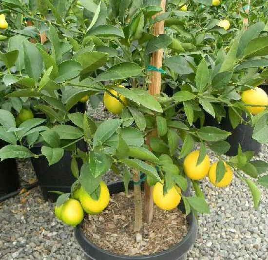 Growing Steps Of Lemon.