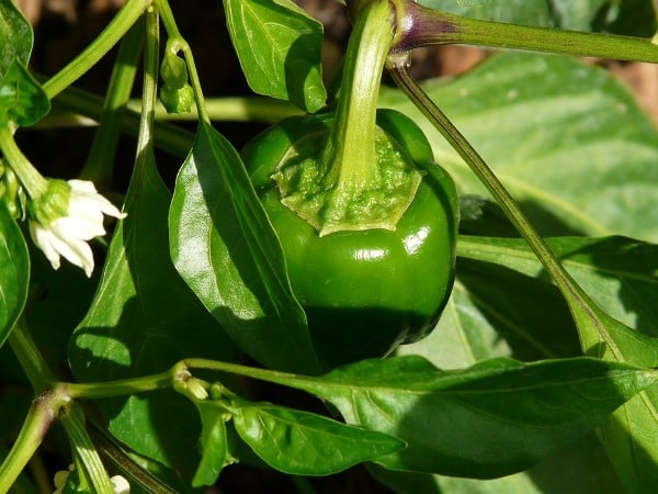 Steps For Growing Capsicum in Containers.