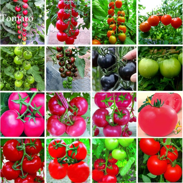 growing tomatoes in containers at home agri farming