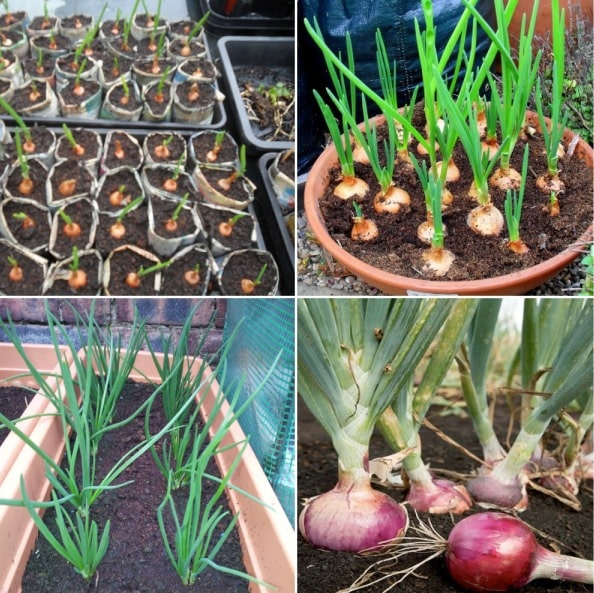 Growing Onion In Containers.