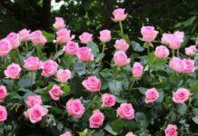 Growing Rose Flower Plants.