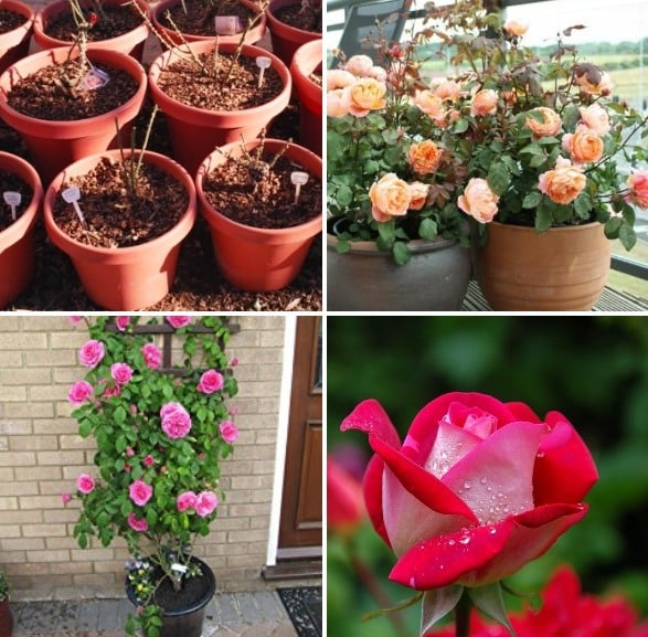 Growing Roses In Containers Pots Backyards Agri Farming