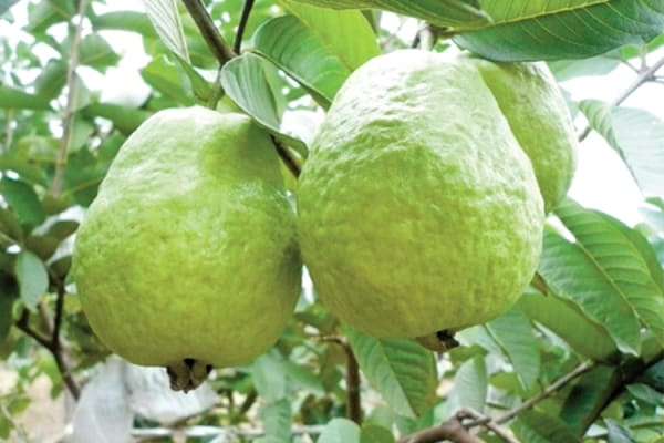 Growing Guava In Pots, Containers, Indoors | Agri Farming