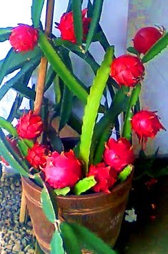Season For Growing Dragon Fruit.