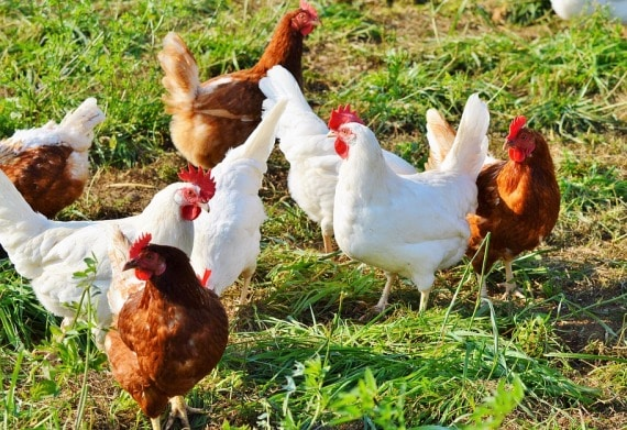Country Chicken Farming Project Report, Cost and Profit | Agri Farming