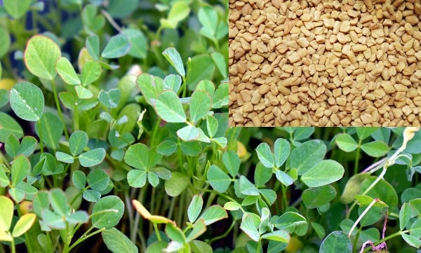 Fenugreek.