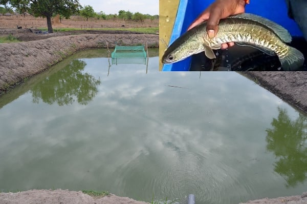 Murrel Fish Farming Project Report, Cost & Profits | Agri Farming