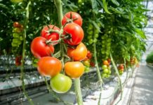Greenhouse Tomato Growing.