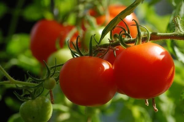 Growing Conditions for Tomatoes In Greenhouse.