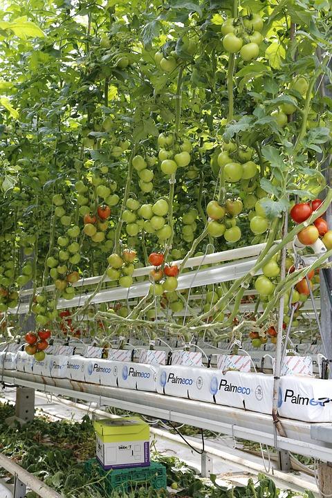 Hydroponic Greenhouse Tomato Farming.
