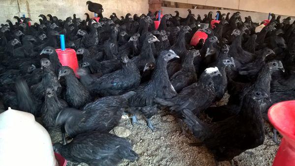 Kadaknath Chicken Farming Project Report.