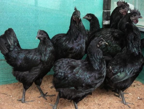 Kadaknath Chicken Farming Project Report | Agri Farming