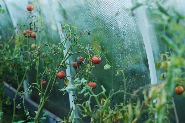 Pests and Diseases in Tomato Growing in Greenhouse.