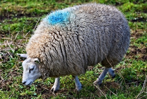 Sheep Farming Project Report, Cost and Profits   Agri Farming