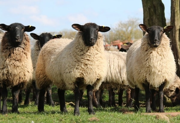 Sheep Farming Project Report, Cost and Profits | Agri Farming