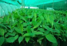 Tissue Culture Plants.