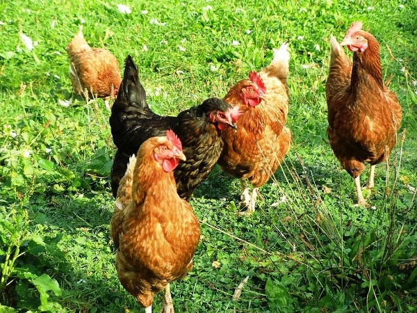 Country Chicken Breeds and Rearing Practices | Agri Farming
