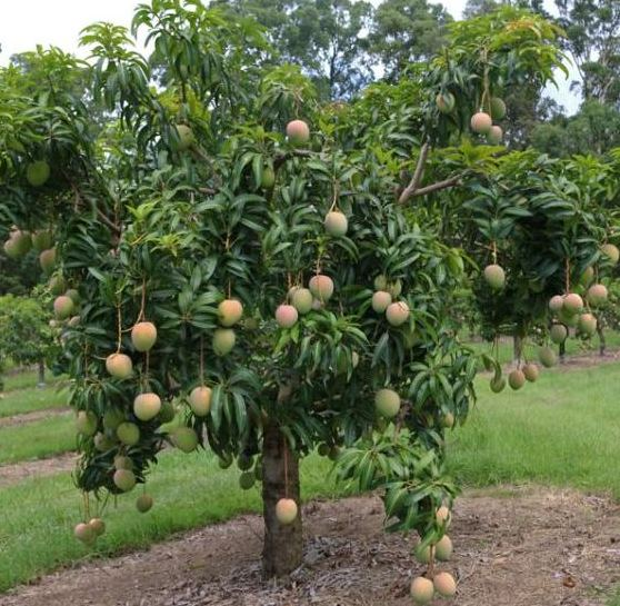 Mango Farming Project Report, Cost and Profit Analysis