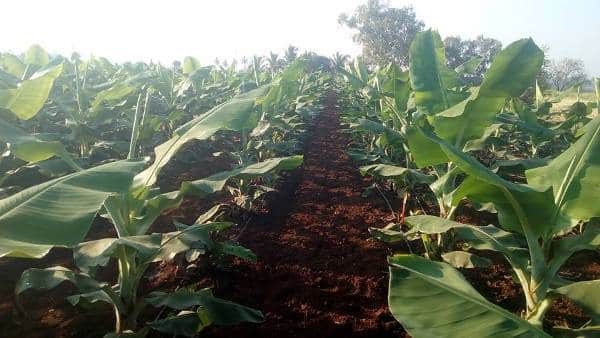 Drip Irrigation in Banana Cultivation.