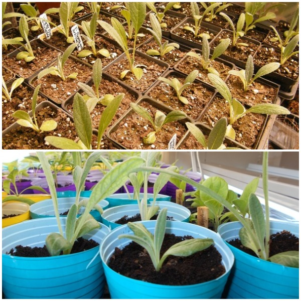 growing artichokes in containers pots information agri