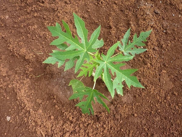 Papaya Seedling.