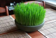 Growing Wheatgrass In Containers (Pic Source Pinterest).