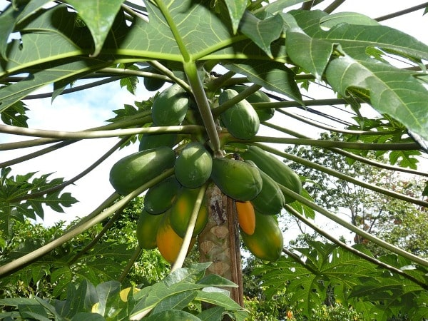 Papaya Farming Tips.