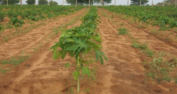 Papaya Growing Conditions.