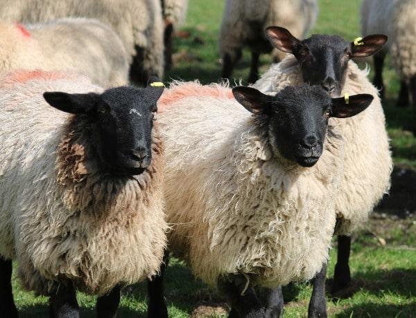 Profitable Sheep Farming.