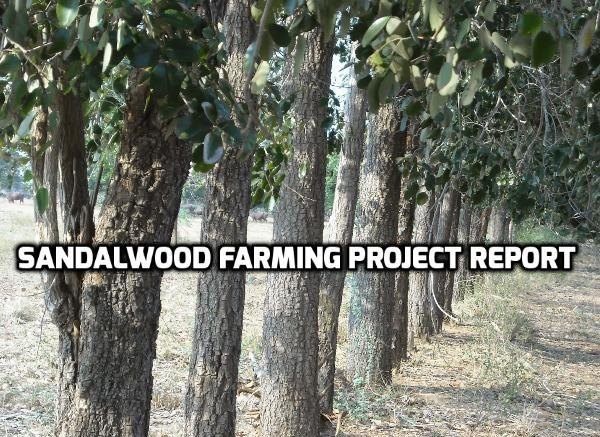 Sandalwood Farming Project Report, Cost and Profit | Agri