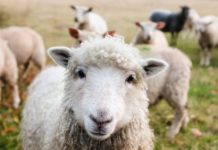 Sheep Farming Questions and Answers.