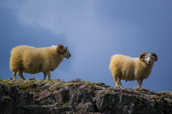 Sheep Lifespan.