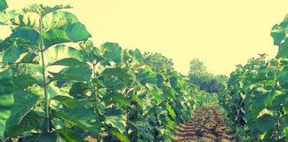 Teak Wood Plantation Scheme Agri Farming